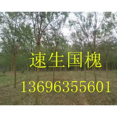 速生国槐13696355601