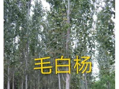 毛白杨13696355601