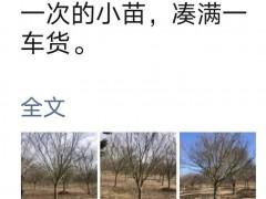 方老师心声 第1827篇:小叶鸡爪槭女神郭琪华,销售为何那么牛