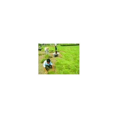 别墅绿化设计施工,草坪承接绿化工程电15961543375