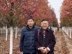 方老师心声 第1830篇:冀州绿泽农场的彩叶豆梨为何天天出货