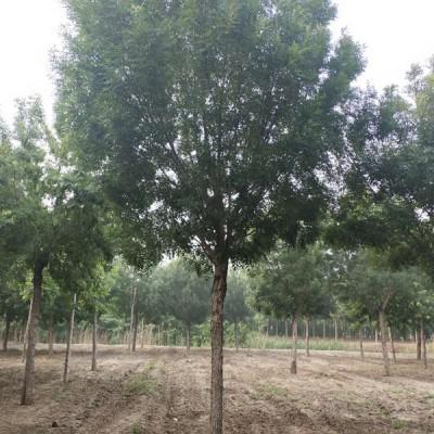 河北北京秋紫白蜡批发12公分秋紫白蜡基地
