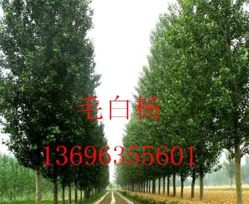 【出售11--12公分窄冠毛白杨】13696355601