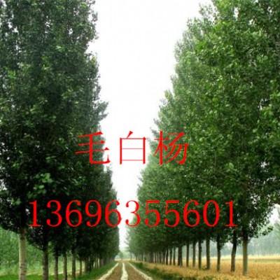 主营毛白杨国槐法桐白腊13696355601椿树榆树速生柳