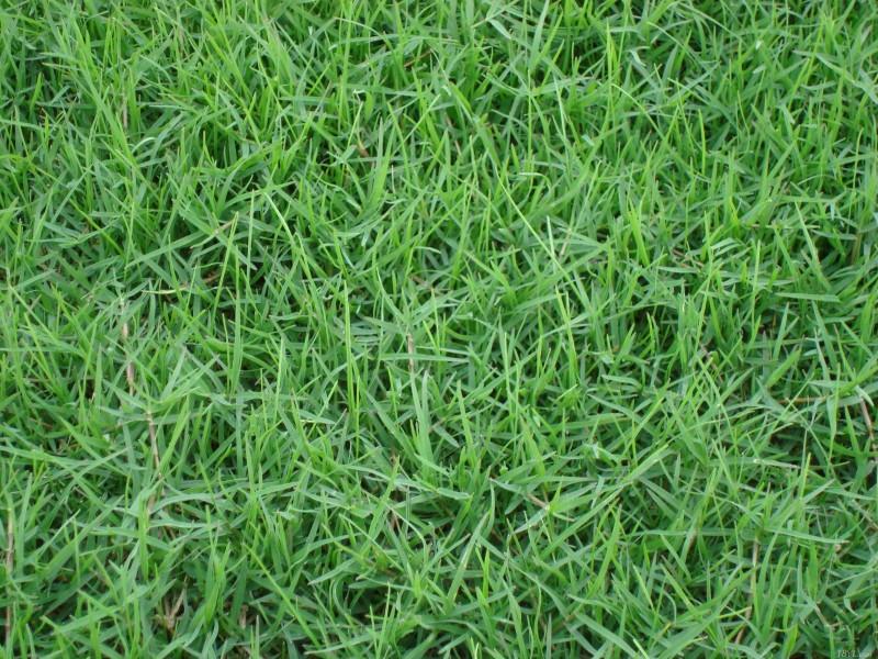 湖北边坡绿化草种销售-剪股颖