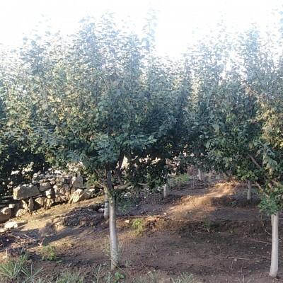 白蜡、北美海棠、法桐、国槐大量出售