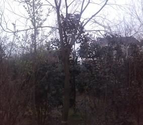 从生,单杆朴树