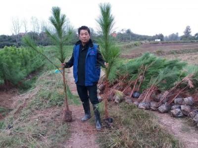 江西九江湿地松苗供应-上等湿地松-美洋洋绿化
