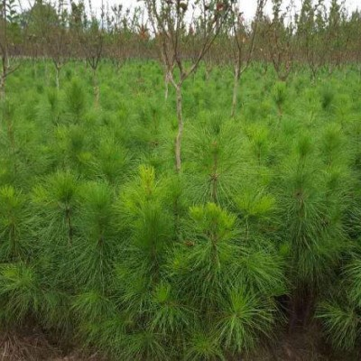 吉安湿地松苗供应-上等湿地松基地-美洋洋绿化