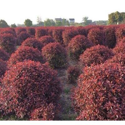 红叶石楠多少钱一棵