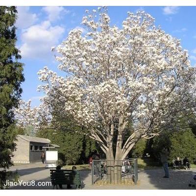 白玉兰树价格及种植经验