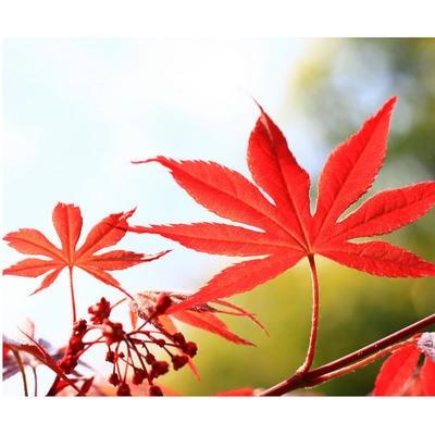 鸡爪槭和红枫有哪些区别?