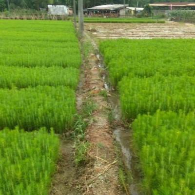樟树市湿地松供应-高安湿地松苗-美洋洋绿化