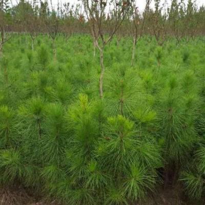 贵州湿地松供应-贵阳湿地松苗-美洋洋绿化
