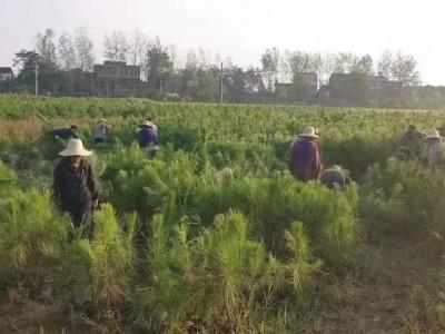 遵义湿地松供应-上等湿地松苗-美洋洋绿化